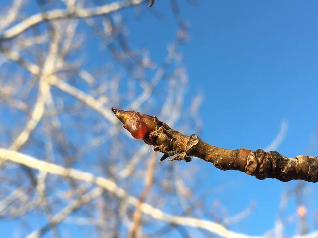 cottonwood tree bud with blue sky background